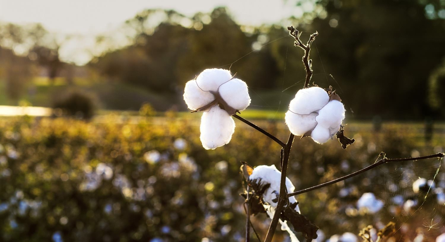 White cotton plants overlooking a field during the sunset