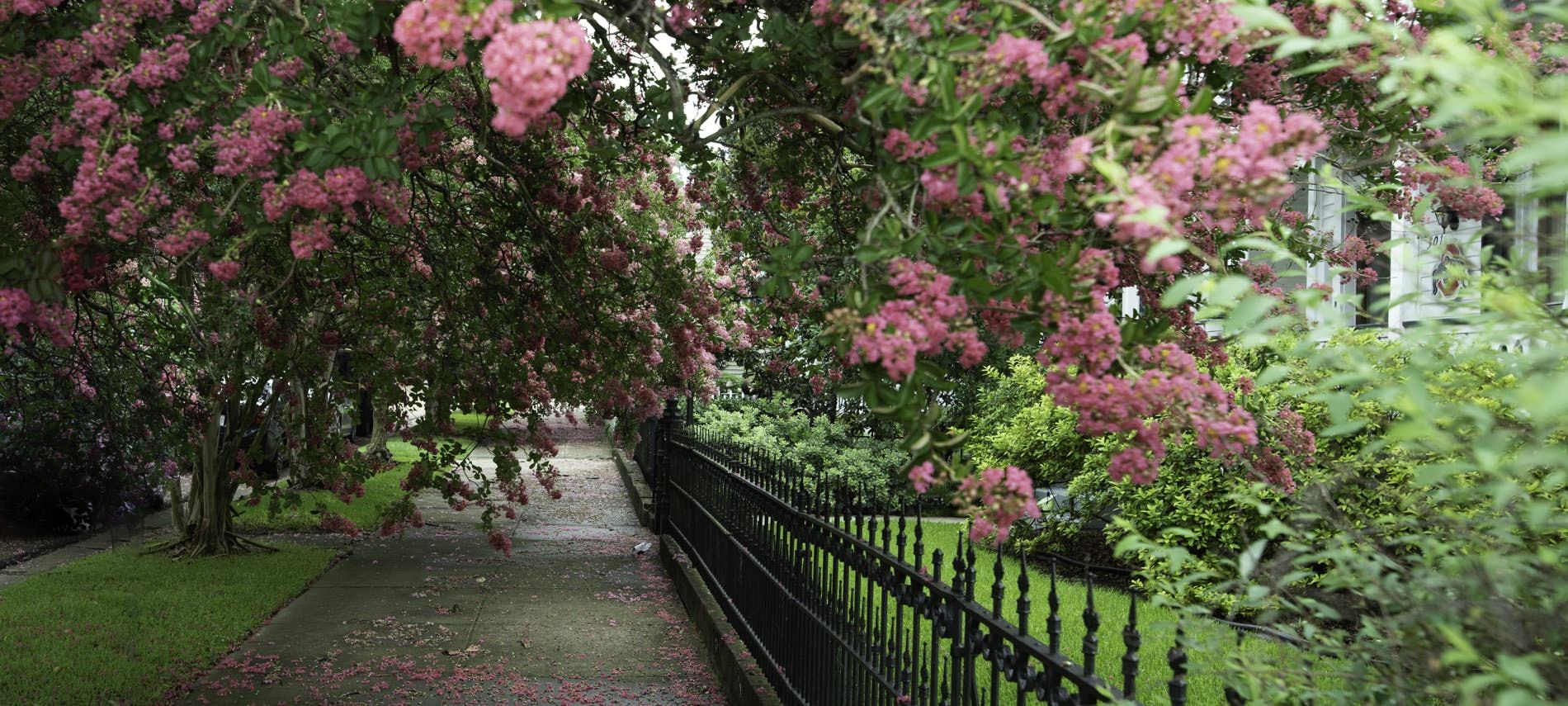Green trees with fluffy pink flowers near gray sidewalk and rod iron fence