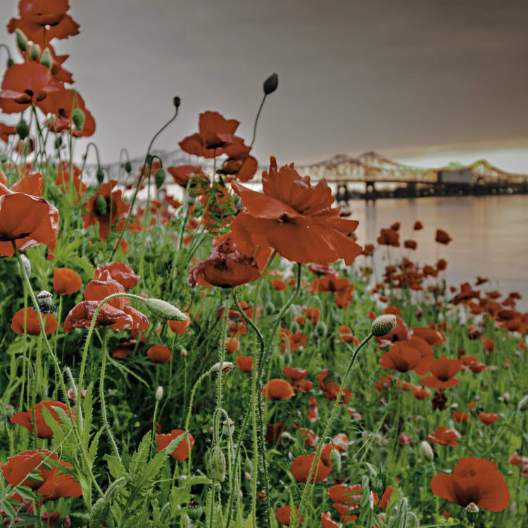 Rows of wild red poppies overlooking the water with the bridge in the distance